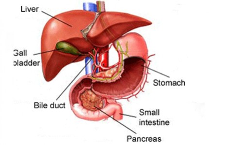 role of the liver